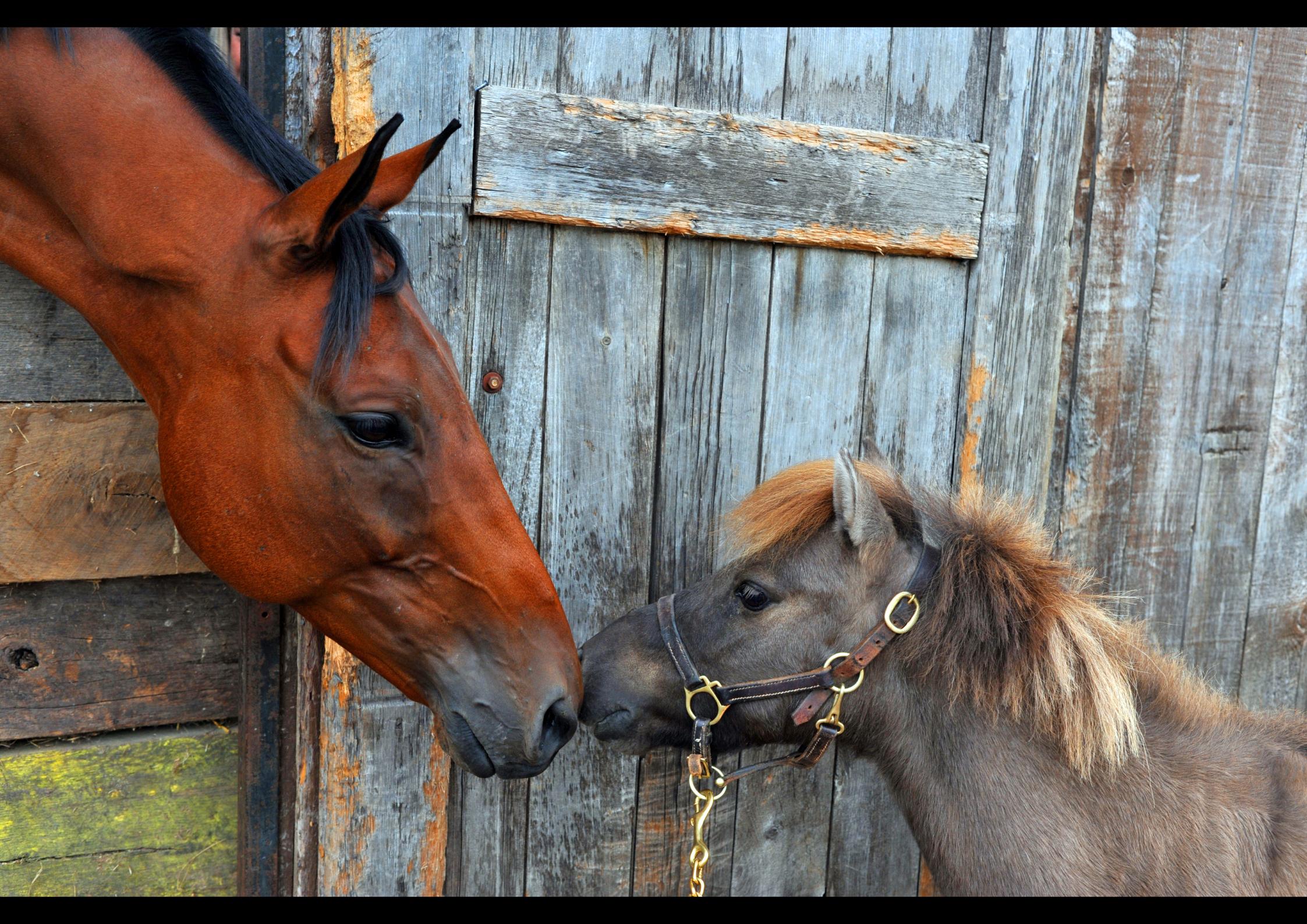 Astma paard 1