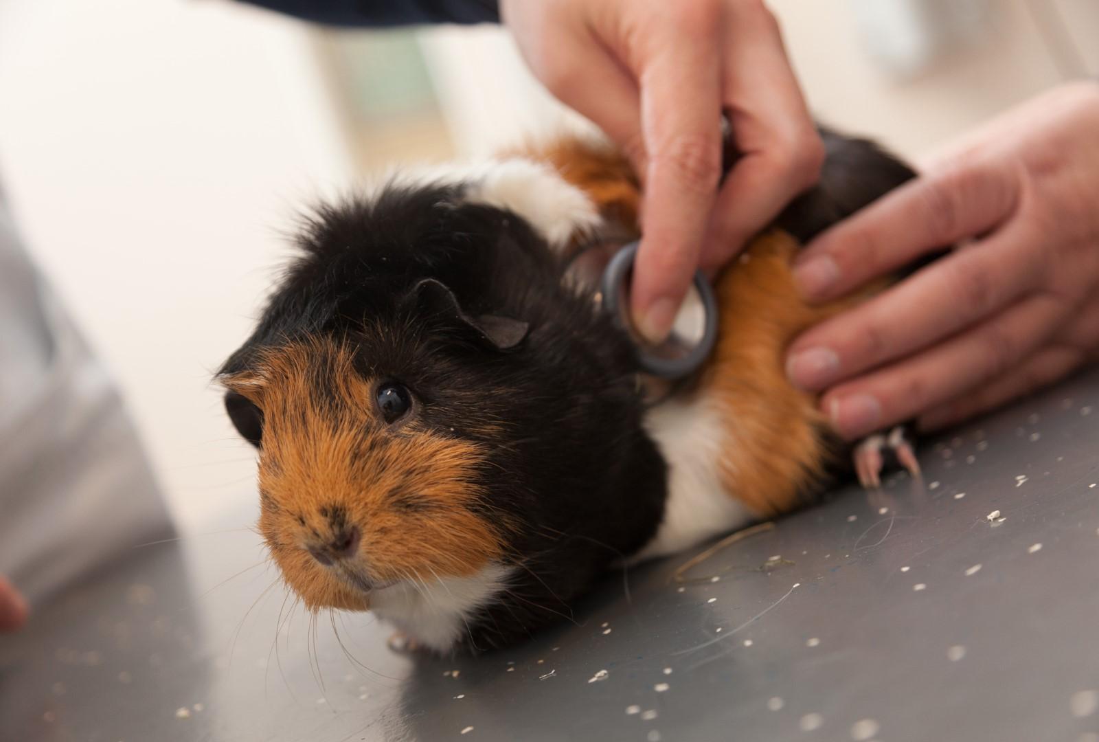 Preventieve zorg voor het knaagdier Dierenkliniek De Hagmolen
