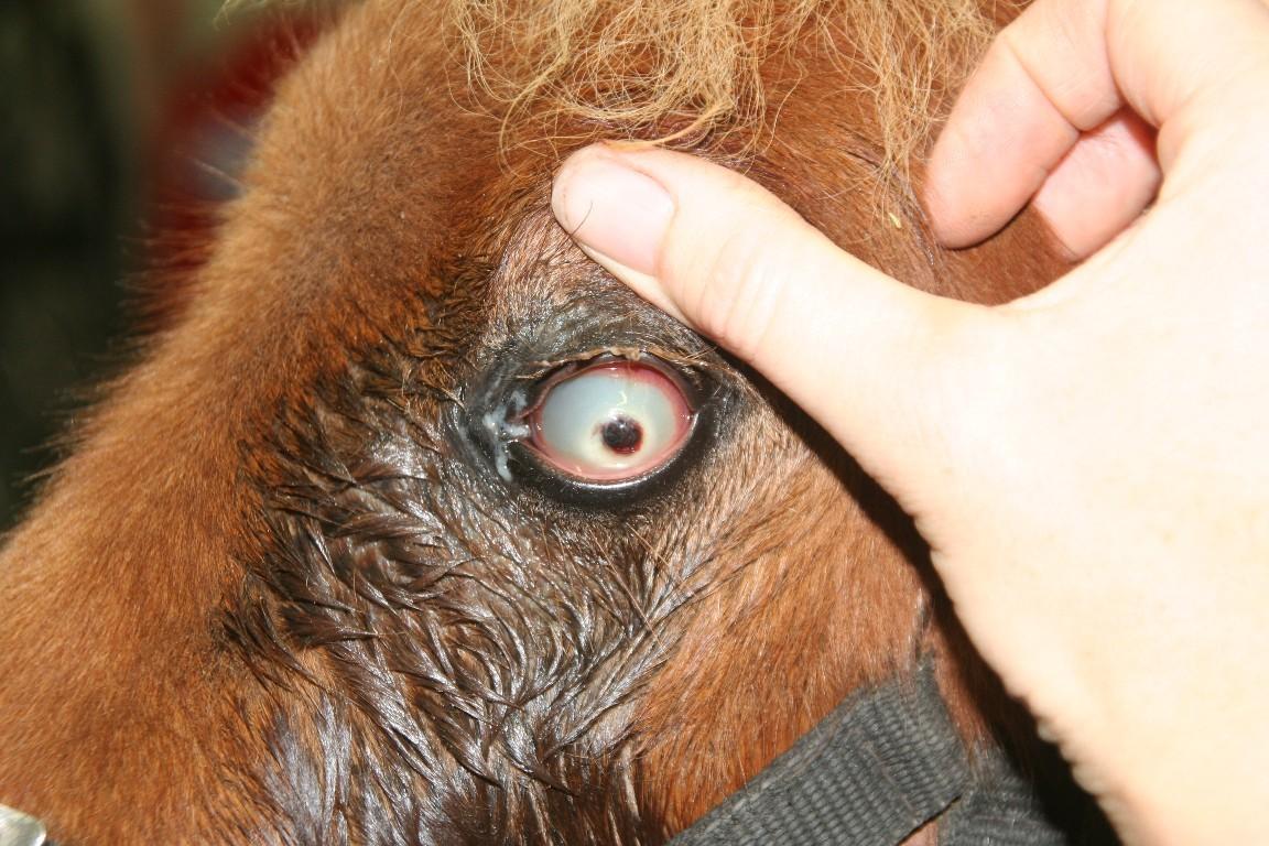 Oogheelkunde bij het paard Dierenkliniek Hellendoorn Nijverdal