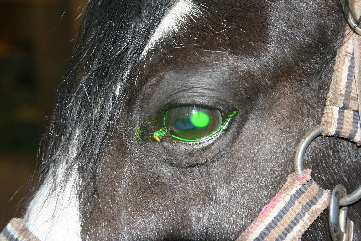 Oogonderzoek bij het paard Dierenkliniek Hellendoorn Nijverdal
