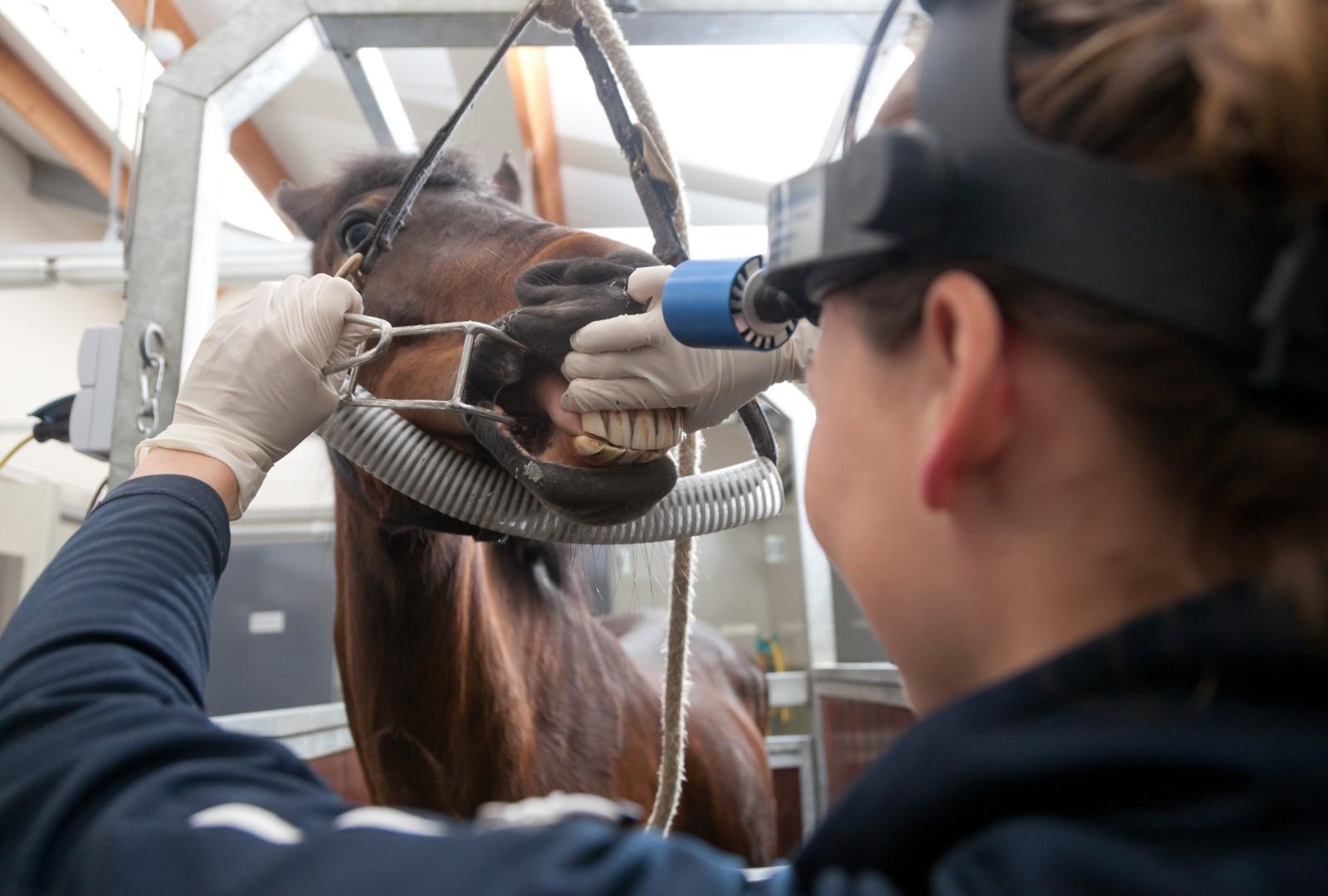 Tandheelkunde bij het paard Dierenkliniek De Hagmolen