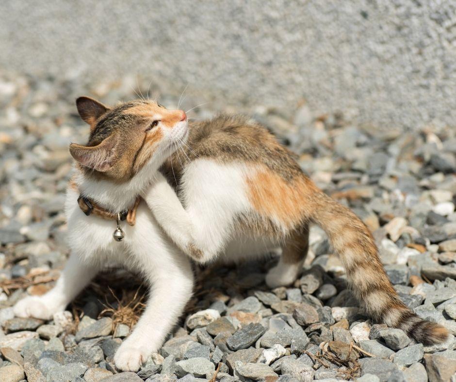 Allergische klachten kat