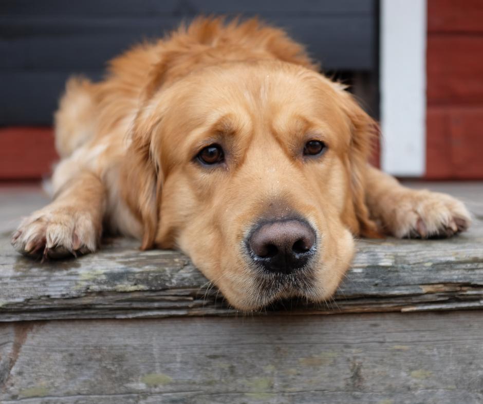 Gewrichtsproblemen bij honden